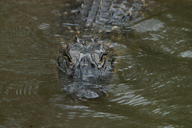 An alligator is seen at the Botanical Gardens on Avery Island, Louisiana in 2010. An alligator's proximity to the barracks on Schmidt Street at Marine Corps Air Station New River, North Carolina, caught officials' attention. (U.S. Army photo/Chuck Cannon)