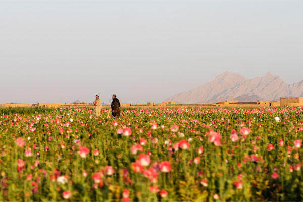 In this Saturday, April 11, 2015 photo, Afghan farmers harvest raw opium at a poppy field in Kandahar's Zhari district, Afghanistan. (AP Photo/Allauddin Khan)