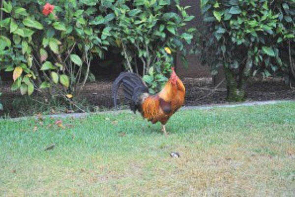 Chickens and roosters are being offered up for adoption at U.S. Army Garrison-Hawaii. They have taken up residence at the post health clinic.( Karen A. Iwamoto, U.S. Army Garrison Hawaii Public Affairs)