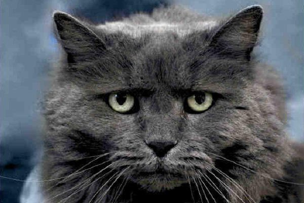 Grey cat headshot.