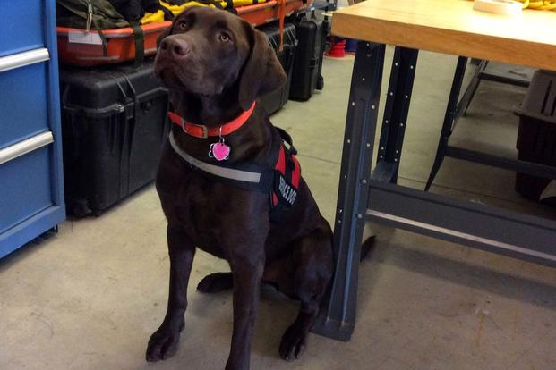 TOML, a chocolate lab service dog with the Alaska Air National Guard 212 Rescue Squadron, is believed to be the first of his kind in the U.S. military. (Photo: Amy Bushatz/Military.com)