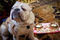 The Marine Corps mascot, Lance Cpl. Chesty XIV, poses next to a decorated Christmas tree at the Home of the Commandants in Washington, D.C., Dec. 16, 2013. (U.S. Marine Corps/Mallory S. VanderSchans)